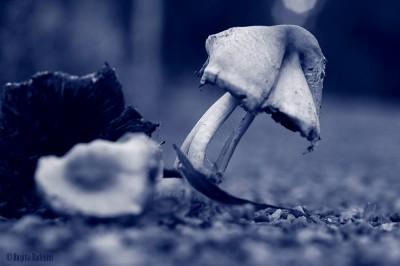 Blue Mushroom Still Standing