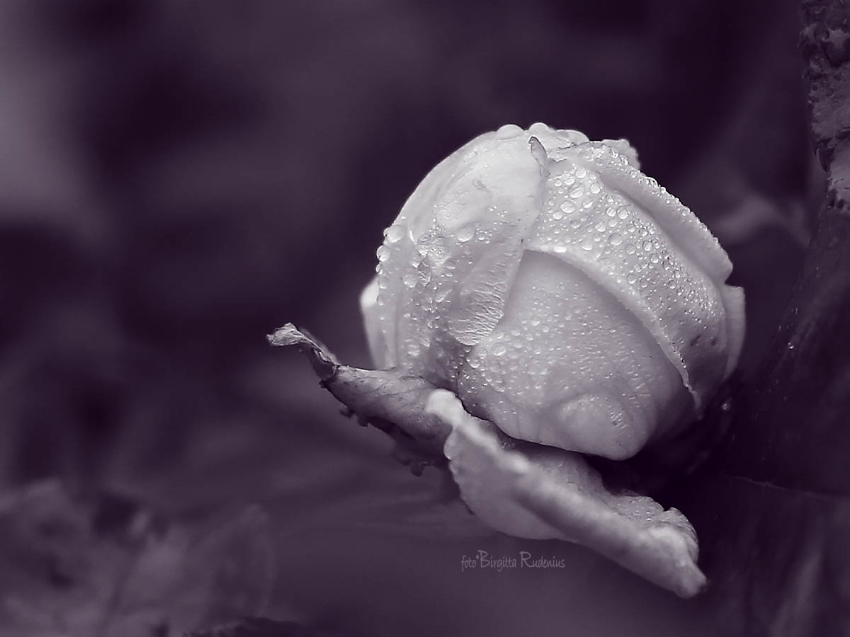 Purple Rose - Decorated with Raindrops