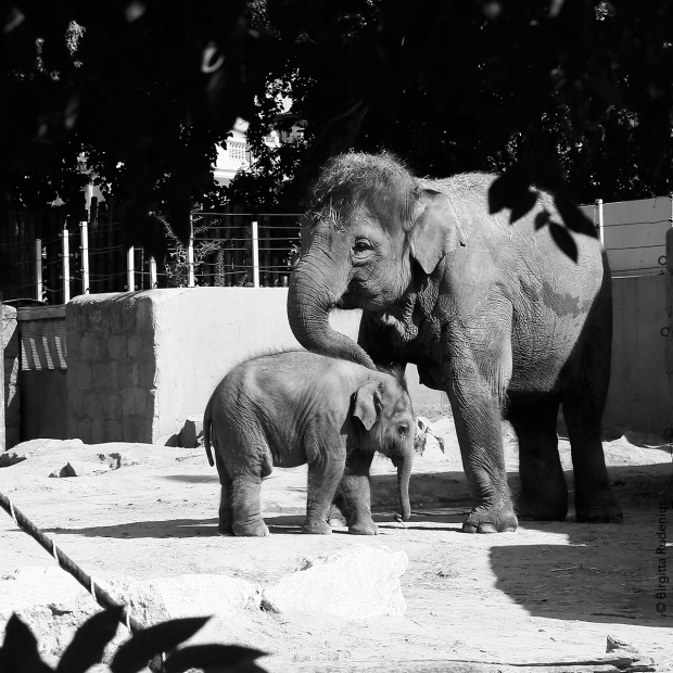 bw_20130812_elephants