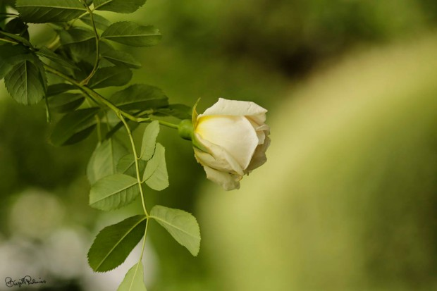 flower_20150622_rose1