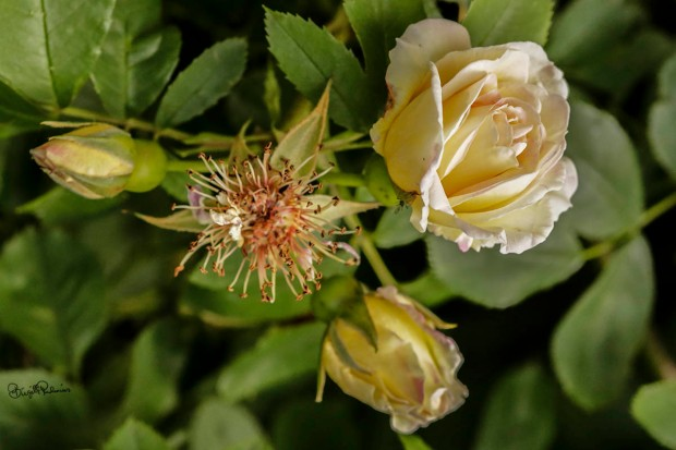flower_20150626_rose1