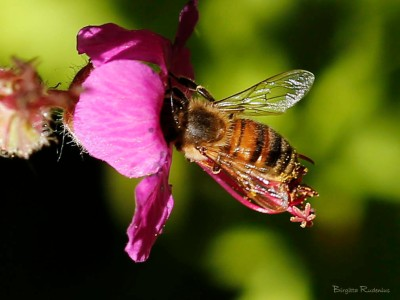 Macro - Bee in Flower