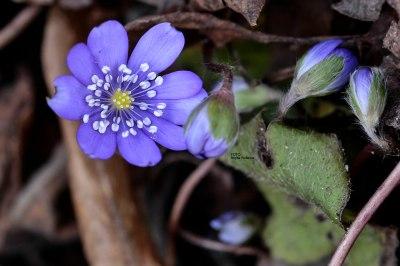 flower_20160319_blasippa