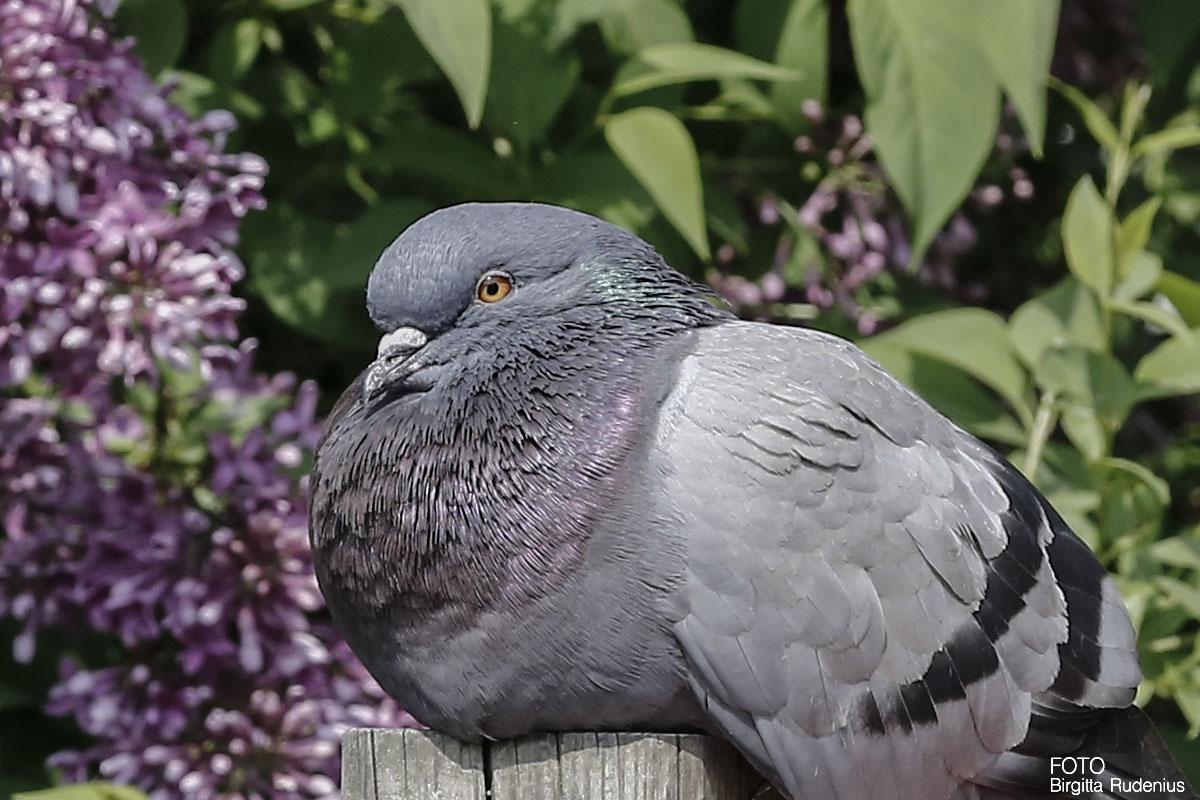 A resting dove