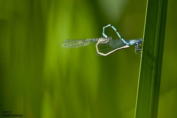 Dragonfly Wheet