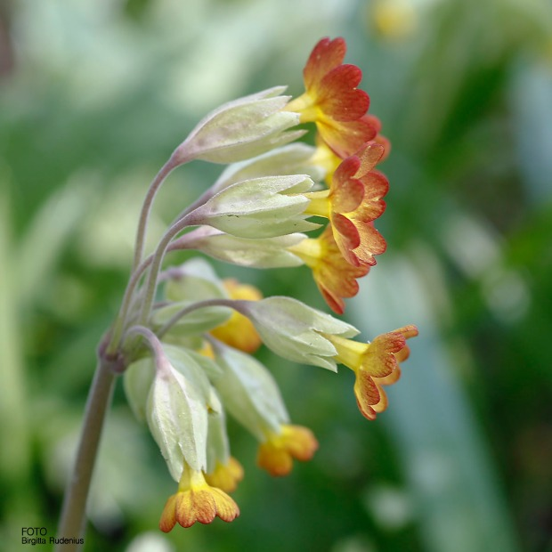Gullviva - Primula veris
