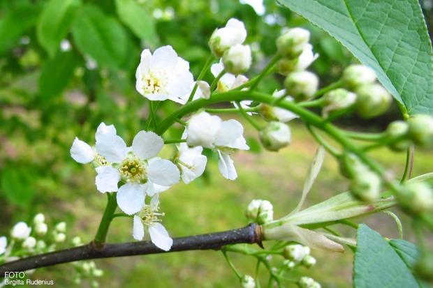 Hägg - Prunus padus