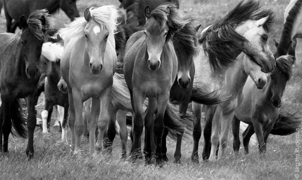 Islandic Horses in Sweden