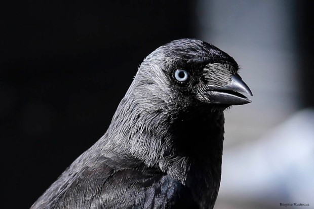 Close up Corvus monedula - Kaja