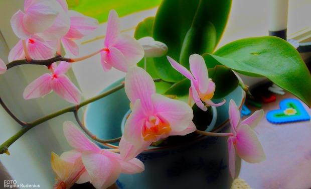 Flower - Orchid