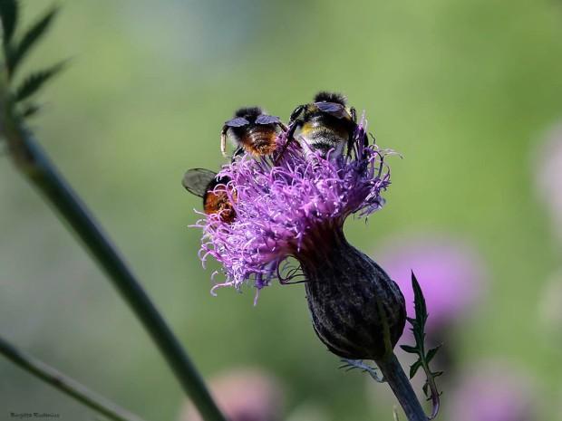 MACRO - Bumble Bees