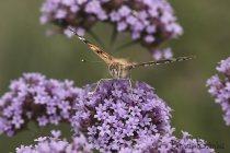 MACRO - butterfly