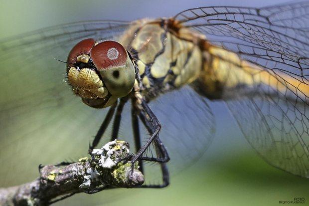 Dragonfly - Macro Close up