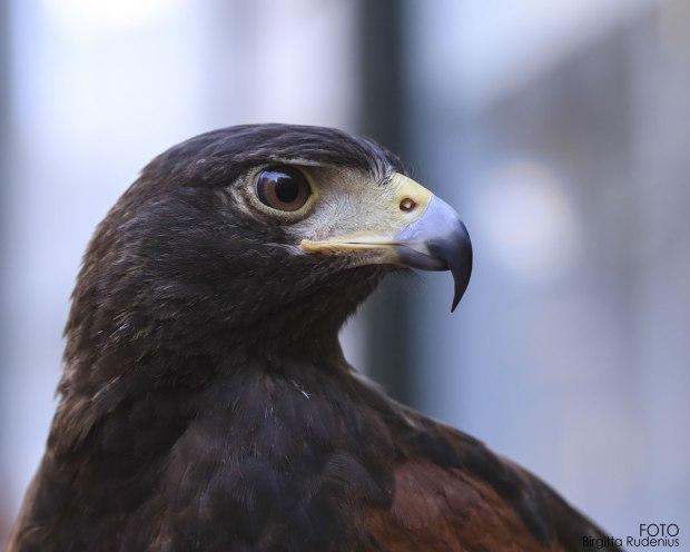 The Falconer's Hawk