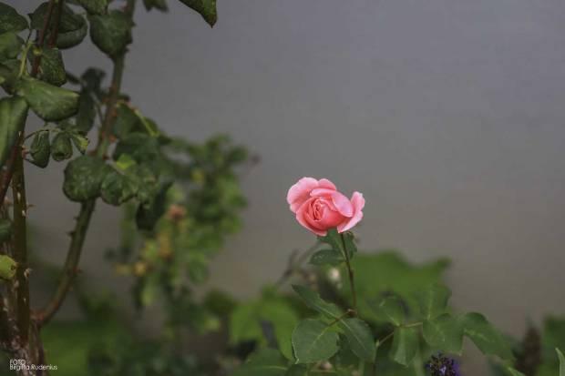 My last rose 2016