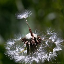 Macro - Dandelion - Maskros