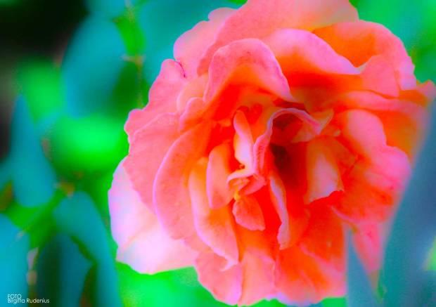 flower_20160813_rose