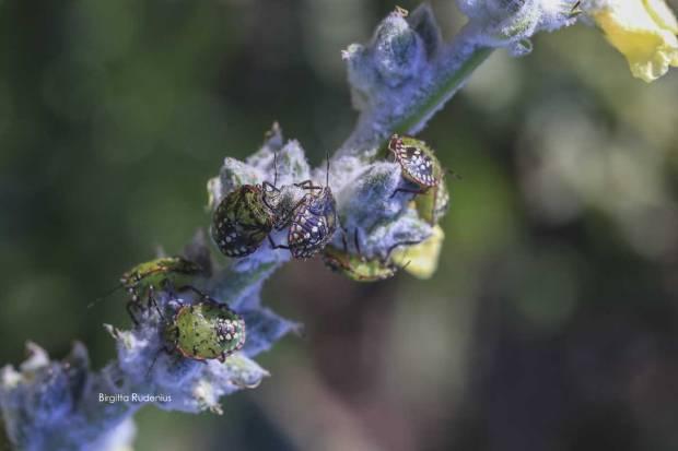 Pentatomidae - Bärfis