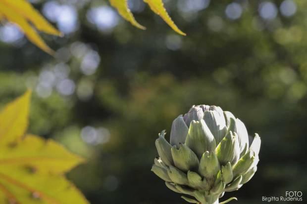 Nature - Kronärtskocka (Cynara cardunculus, Scolymus-gruppen)