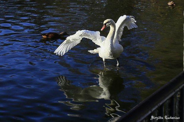 Svan Yoga i Stadsparken i Lund