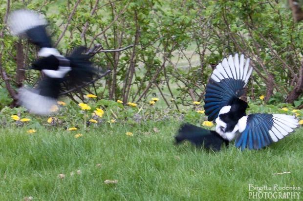 Magpies - Skator