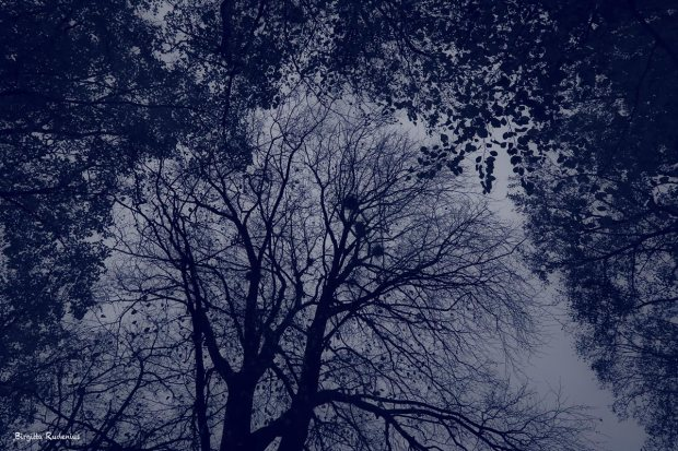 Blue Photo - Tree Tops