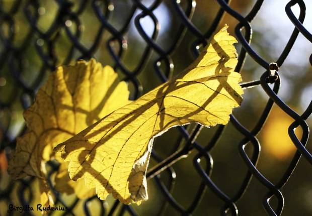Macro - Fence & Leaf