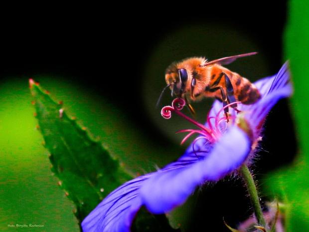 Macro - Bumble Bee on Pistil