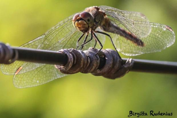 Dragonfly laughing at me