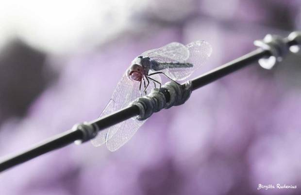 The Pink Dragonfly by me