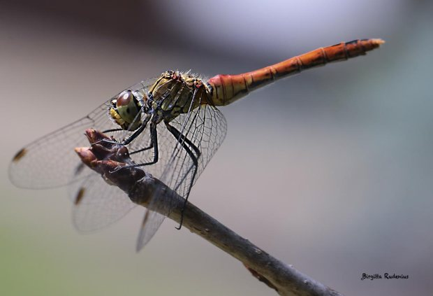 Dragonfly from the Tanja, Hungary