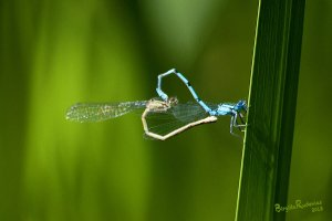 Dragonflies in Love - Wheel