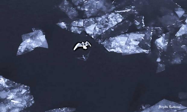 Blue Photo - Icy Bird Flight