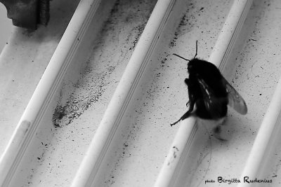 BW - Bumble Bee climbing over