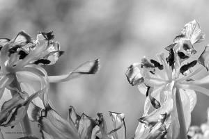 BW - Tulips
