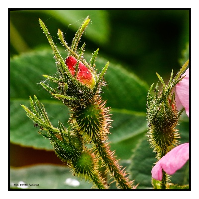Macro Rose Buds