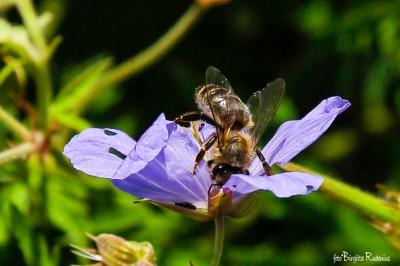 Macro Bee Diving into Hidden Secret.