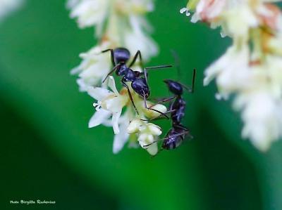 Ants in Macro