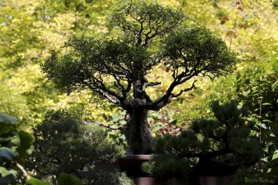 Bonsai - Old Botanical Garden, Budapest.