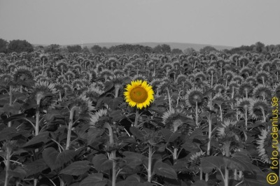 Every sunflower but one ...