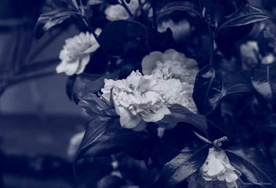 Blue Photo - Camellia.