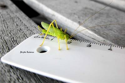 Grasshopper measuring himself.