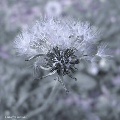 The Blue Dandelion.