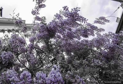Blåregn - Wisteria sinensis.