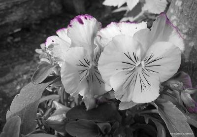 flowers_20170415_bw