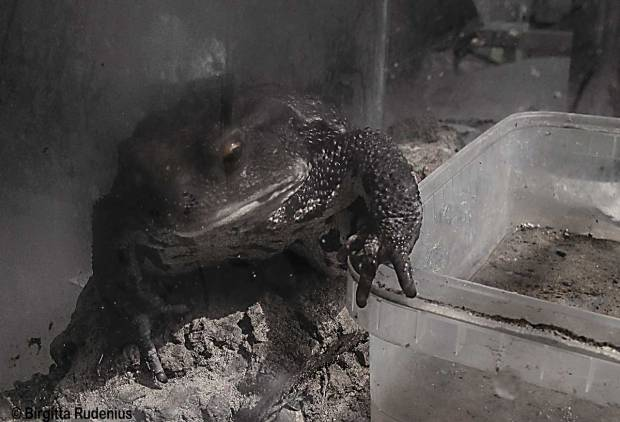 Frog - Padda.