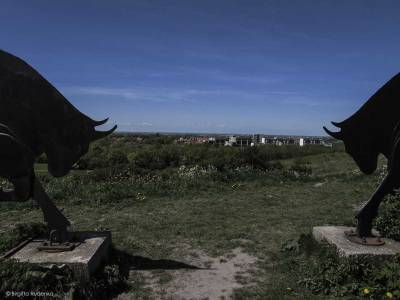 Bulls high up on the hills in Lund.