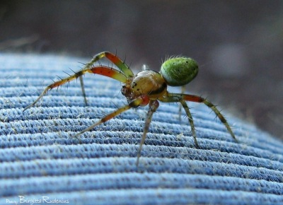 Tip toe in colorful spider walk. Macro