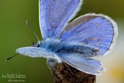 Butterfly Blue - Blåvinge.