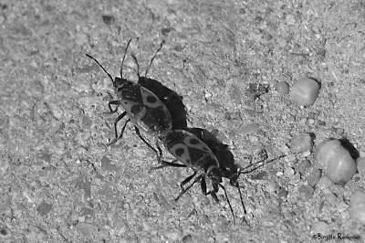 Beetles in Mating.